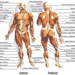 physionomie corps humain